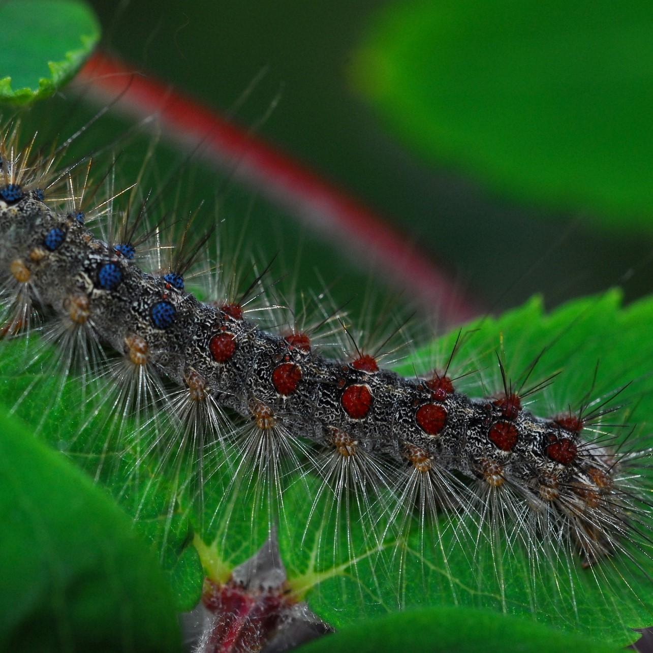 gypsy-moth